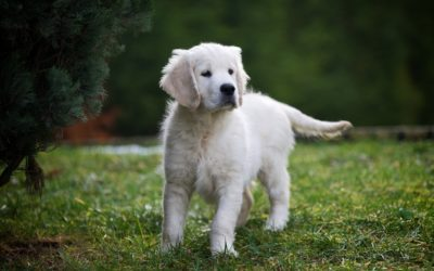 Cuccioli Golden Retriever disponibili